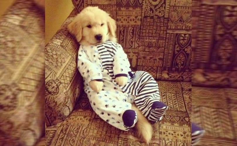 A Labrador puppy wearing pajamas that are half blue and white striped and a half with a paw print pattern