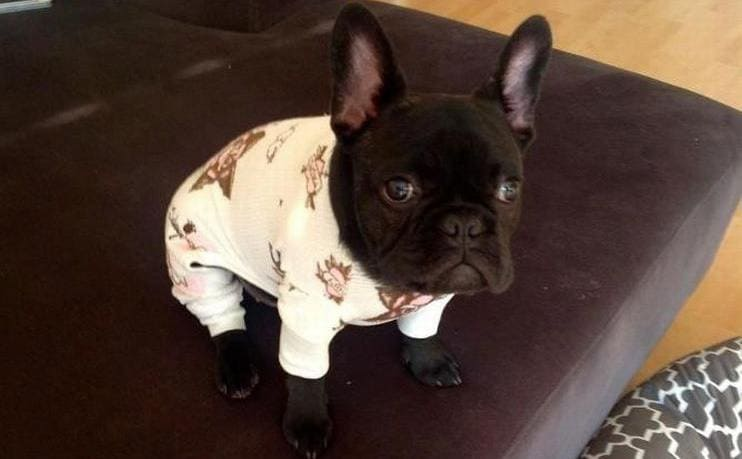 A French Bulldog wearing pajamas sitting on the edge of a couch