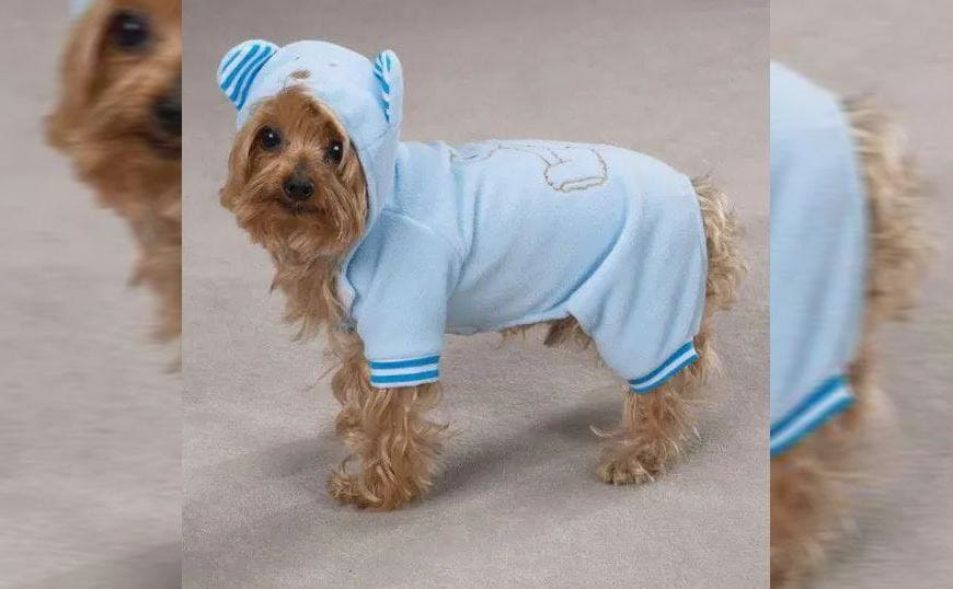 A Yorkshire Terrier wearing light blue pajamas