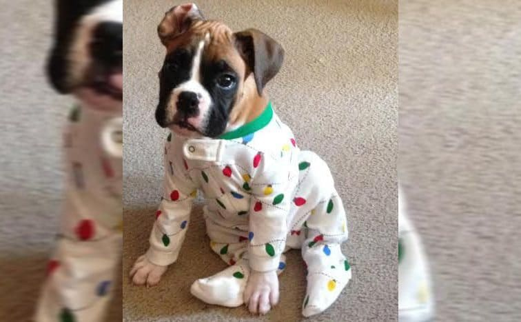 A boxer dog wearing pajamas with Christmas ornaments on them