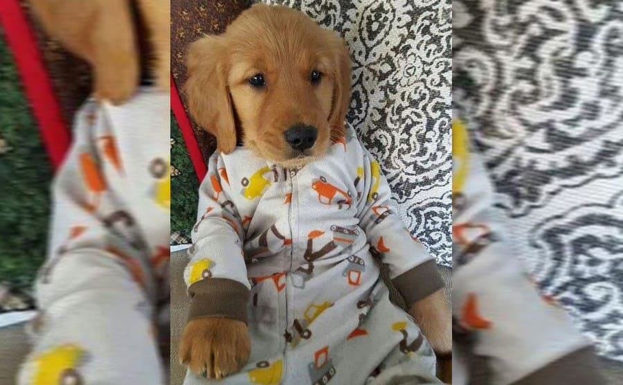 A puppy wearing pajamas with cars on them