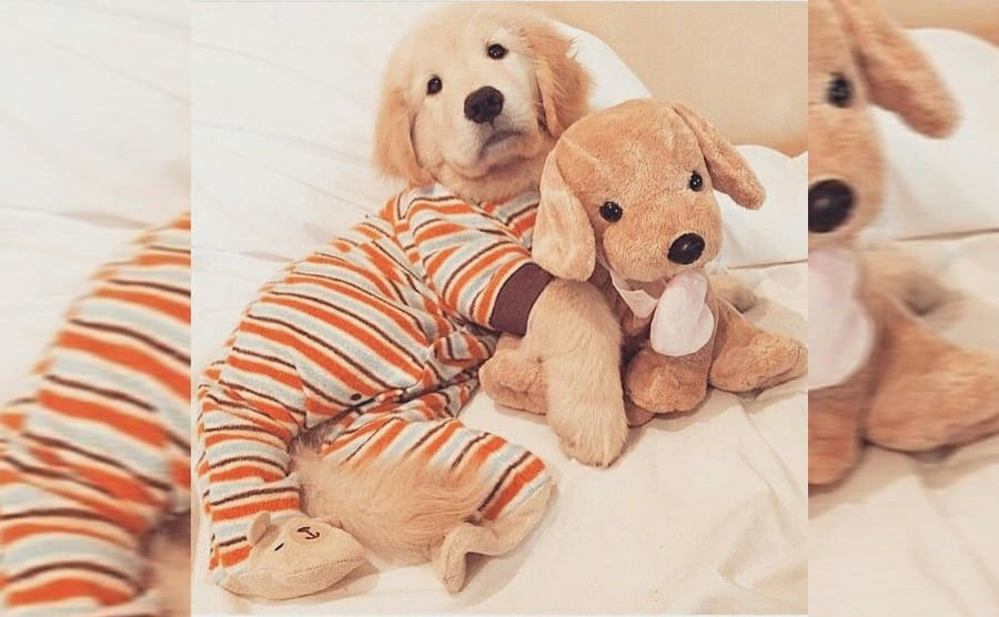 A Golden retriever wearing pajamas and cuddling with a stuffed dog