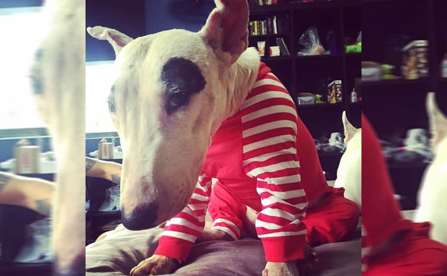 A Bull Terrier wearing red and white striped pajamas