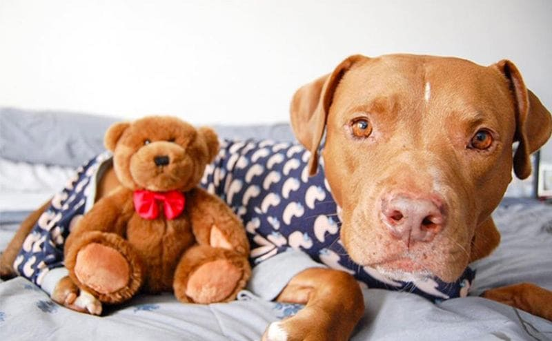 A pit bull wearing duck pajamas with a cute teddy bear sitting next to her on the bed