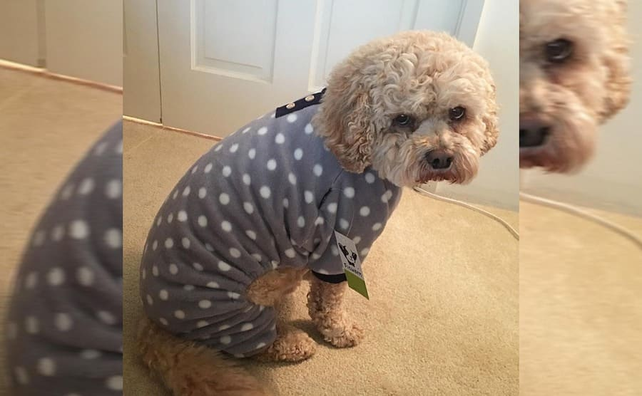 A fluffy dog wearing a grey fleece with white polka dots