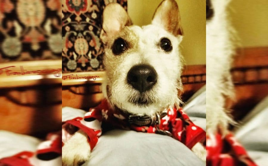 Frankie the dog wearing red pajamas sitting on a bed and looking up with his eyes open