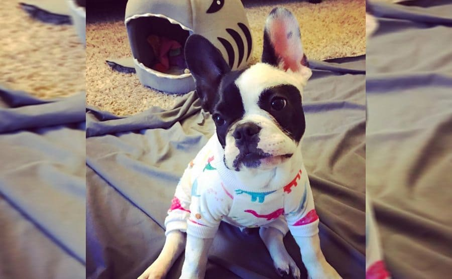 A cute dog wearing pajamas with dinosaurs on them