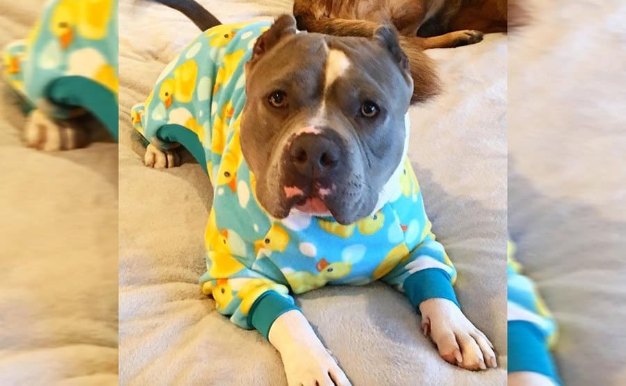 A cute pitbull wearing pajamas with ducks on them
