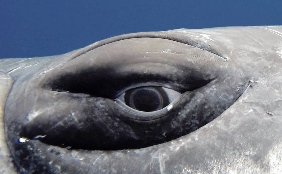 A close-up photograph of a humpback whales eye