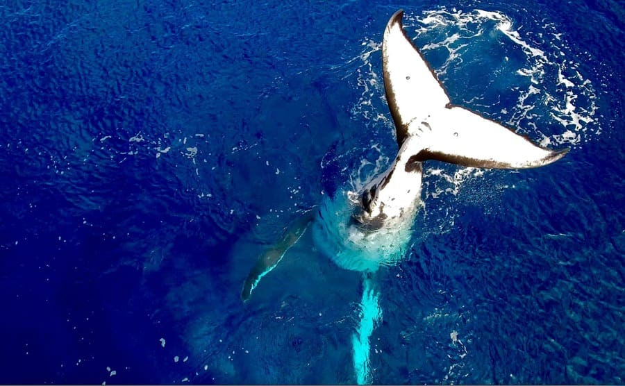 A humpback whale going into the water