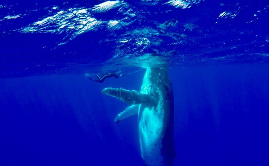 Nan swimming next to a large humpback whale