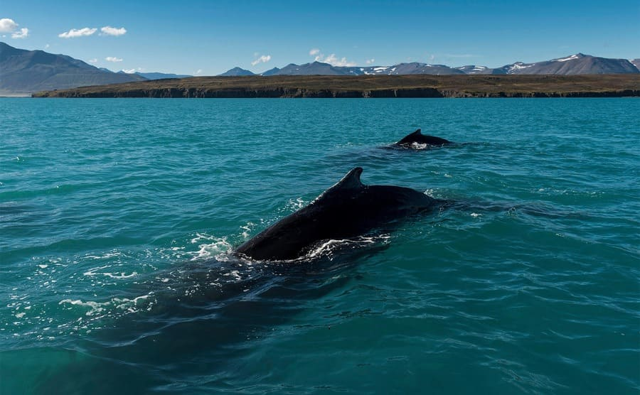 Two humpback whales in the water