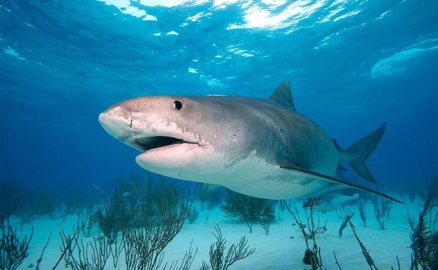 A tiger shark swimming on the ocean floor