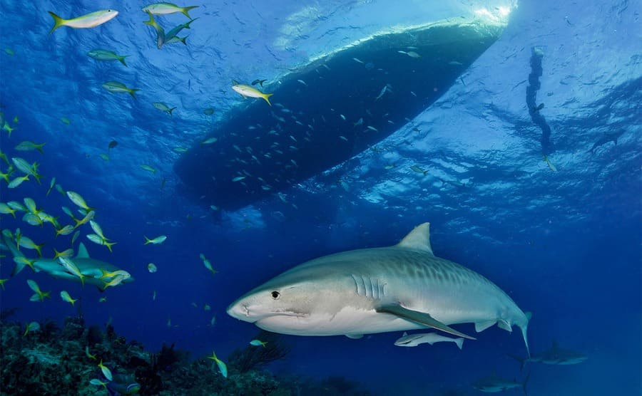 A tiger shark under a boat