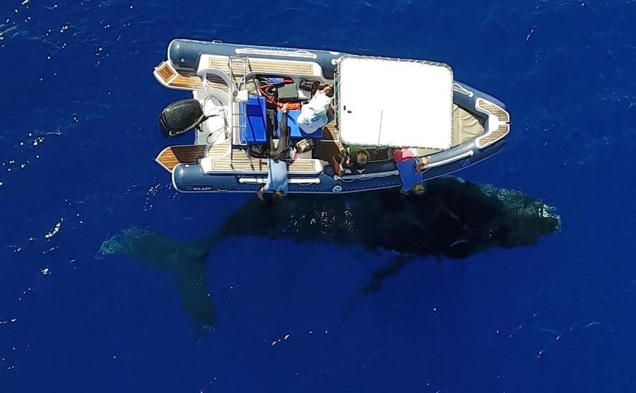 A humpback whale underneath their boat
