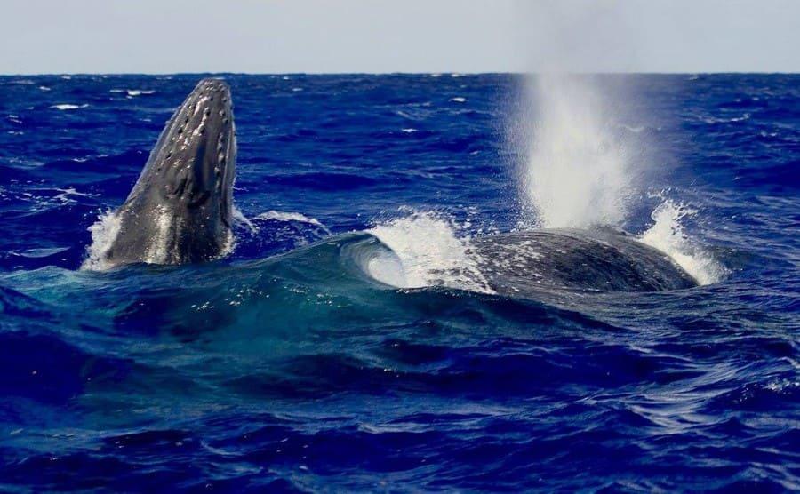 A humpback whale with a humpback calf