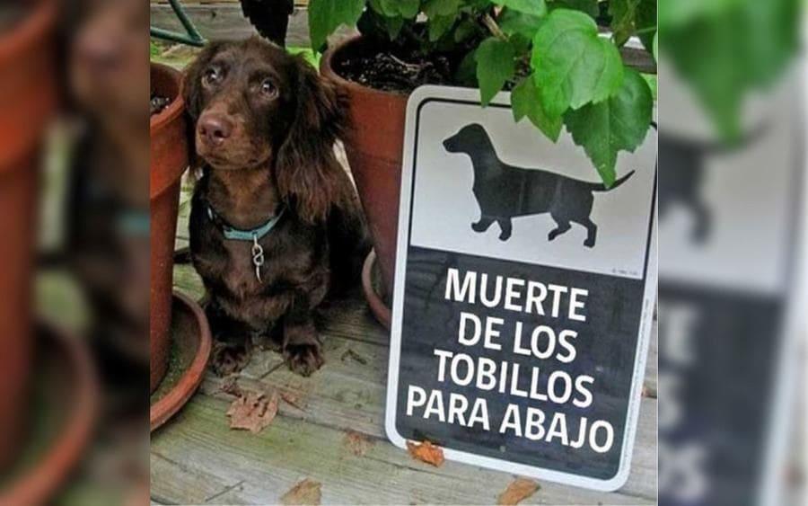 """Un perro con patas cortas junto a un cartel que lee: """"Muerte de los tobillos para abajo"""""""