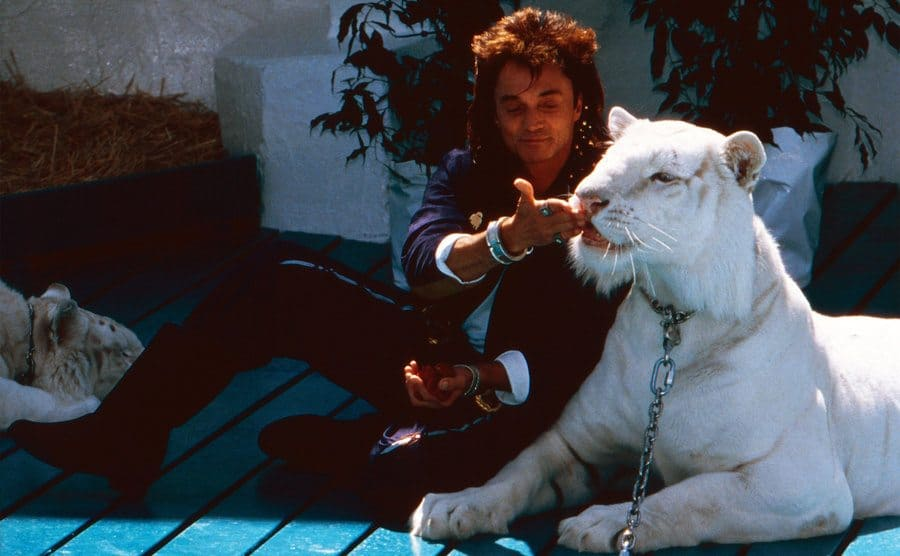 Roy feeding one of his white tigers.