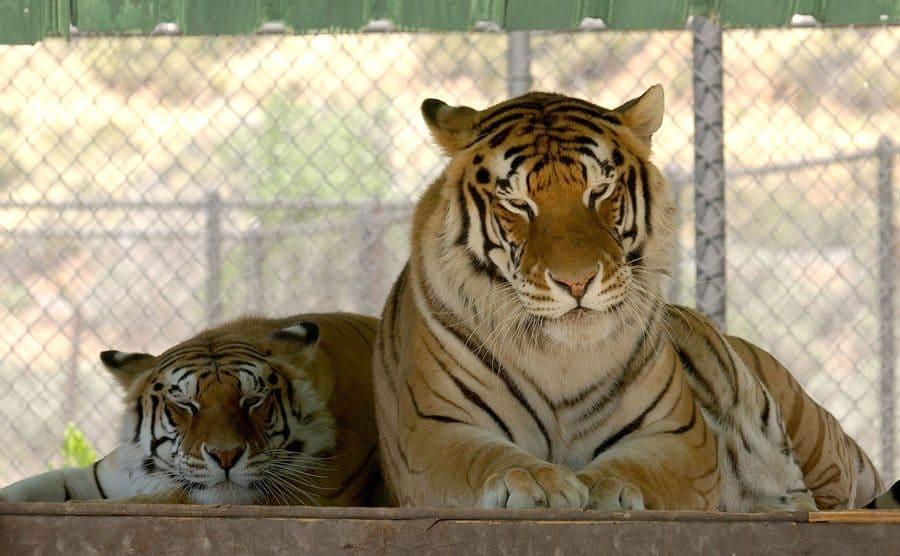 Michael Jackson's tigers.